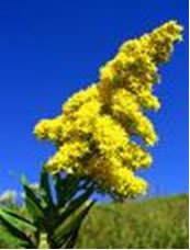 Goldenrod - Weed Killer