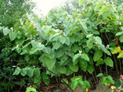 Giant Knotweed - Weed Killer